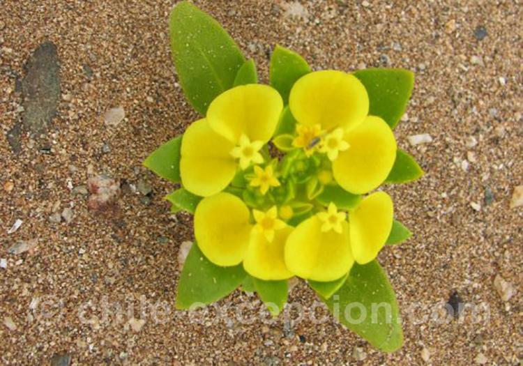 Rosita del campo, jolie fleur jaune au Chili