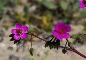 Fleur patte de guanaco