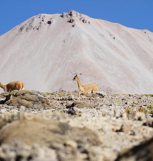 Vigognes volcan Taapaca