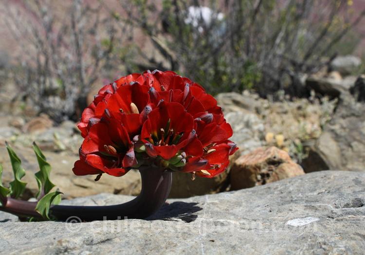 Griffe du lion, flore du Chili