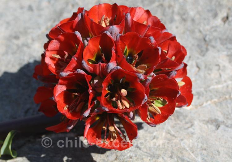 Griffe du lion magnifique fleur rouge du Chili