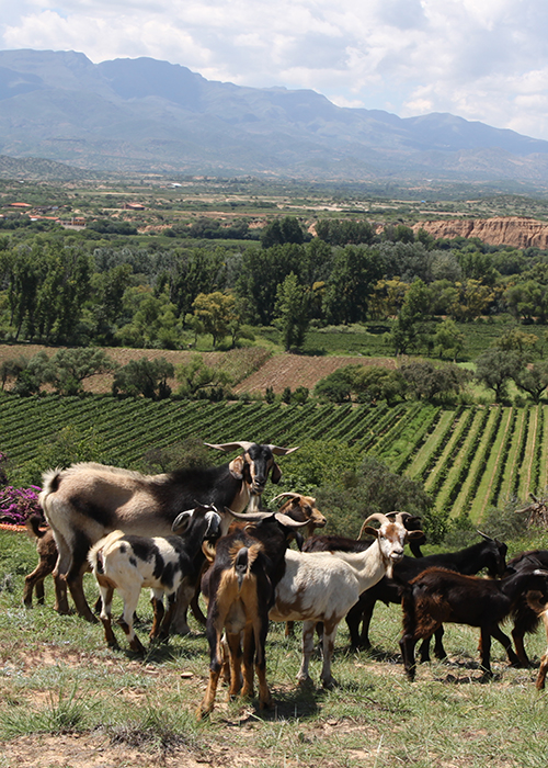 Le vin en Bolivie