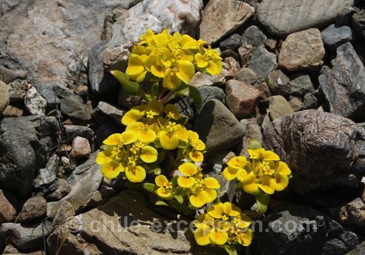 Rosita del campo, flore typique du Chili