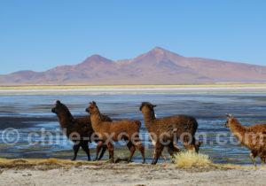 Lamas Chili