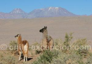 Lamas à San Pedro de Atacama