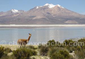 Vigogne, nord Chili