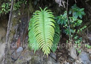 Fougères, plante typique du nord de la Route Australe
