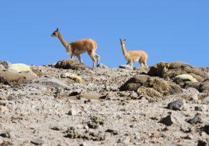 La vigogne vit en groupe