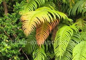 Ptéridophytes ou fougères du Chili