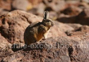 Viscache des montagnes, mammifère rongeur