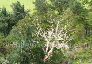 Arbres du sud Chili