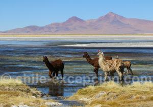 Lamas Altiplano