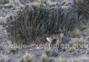 Taruca, cordillère des Andes, Nord Chili