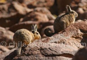 Viscache des montagnes d'Amérique du Sud