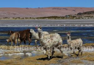 Camélidés du Chili