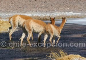 Vigognes, désert d'Atacama