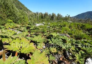 Rhubarbes géantes sur le volcan Chaiten