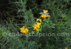 Fleurs de Patagonie
