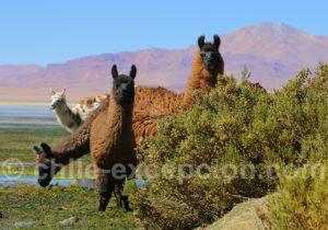 Rencontre dans l'Altiplano