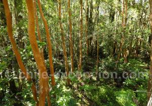 Jeunes arbres arrayanes