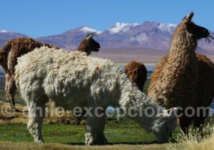 Lama, animal domestique