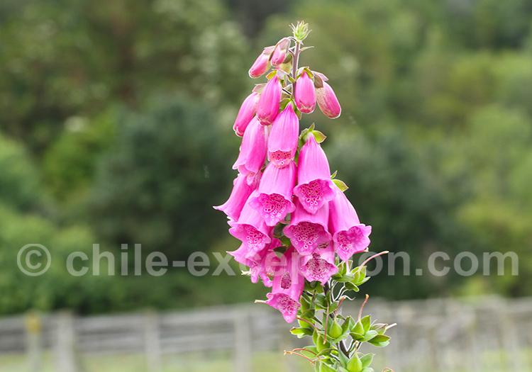 Thémathique fleurs du Chili