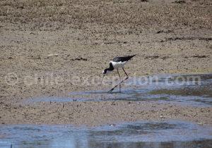 Échasse à queue noire, Laguna Torca