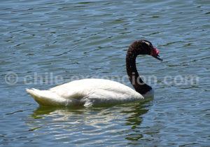 Cygne à cou noir, Laguna Torca