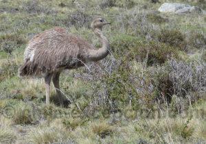 Nandou de Darwin, sud Chili