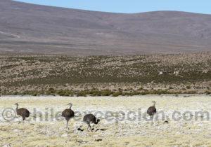 Nandus, Rhea pennata, nord Chili