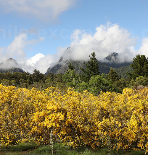 Genet à balai, Chili