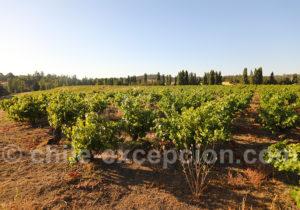 Vignoble de la viña Männle