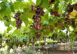 Circuit vin Chili