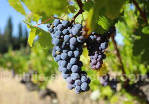 Le raisin de la viña Männle