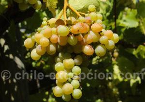 Science du vin qu Chili